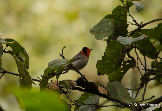Chipe Cara Roja / Red-faced Warbler