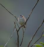 Gorrión Collar Rufo / Rufous-collared Sparrow