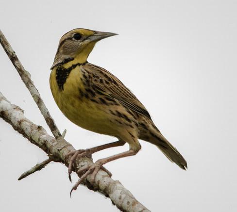 Pradero Oriental / Eastern Meadowlark