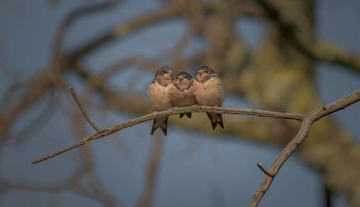 Golondrina Tijereta / Barn Swallow