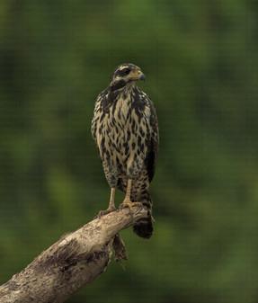 Aguililla Negra Menor / Common Black Hawk
