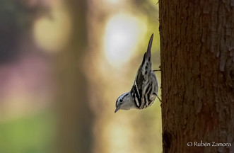 Chipe Trepador / Black-and-white Warbler