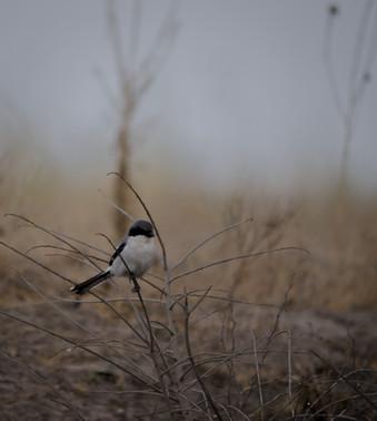 Alcaudón Americano / Loggerhead Shrike