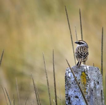 Zacatonero Rayado / Striped Sparrow