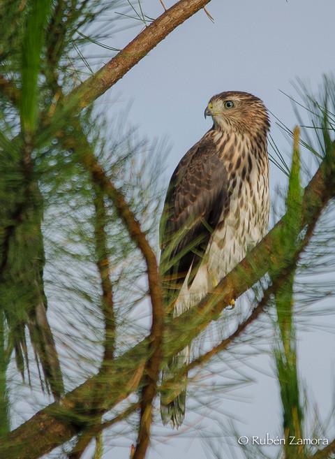 Gavilán de Cooper / Cooper's Hawk