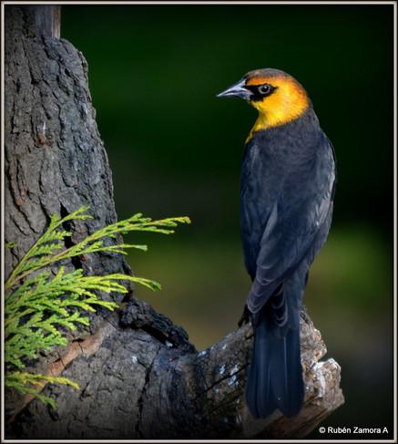 Tordo Cabeza Amarillo / Yellow-headed Blackbird
