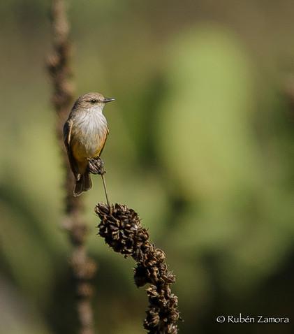 Mosquero Cardenal / Vermilion Flycatcher