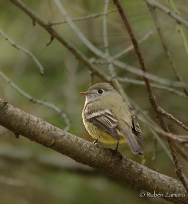 Mosquero de Hammond / Hammond's Flycatcher