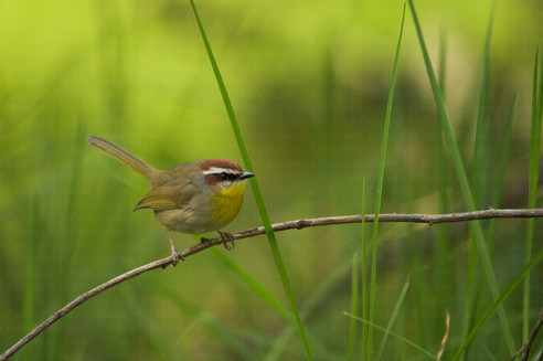 Chipe Gorra Rufa / Rufous-capped Warbler