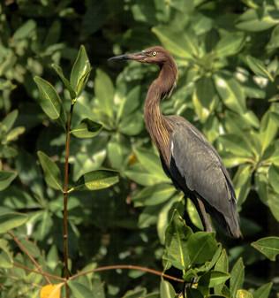 Garceta Rojiza / Reddish Egret