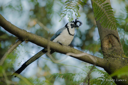 Urraca Hermosa Cara Blanca / White-throated Magpie-Jay