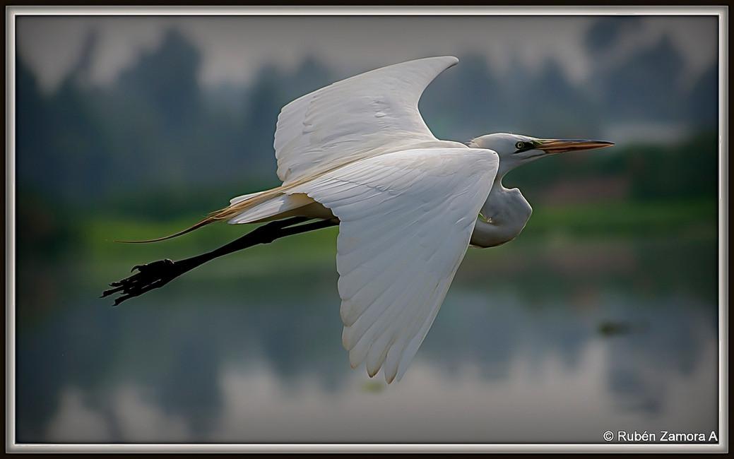 Garza Grande / Great Egret