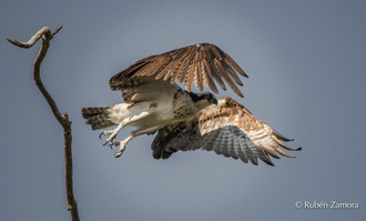 Águila Pescadora Occidental / Western Osprey