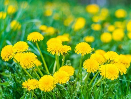 All About Dandelion Tincture