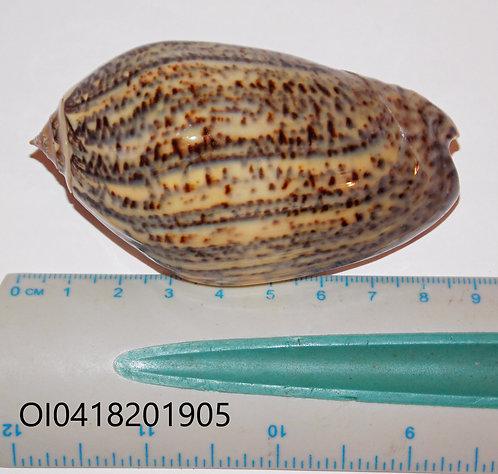 OLIVA (Strephona) INCRASSATA - OI0418201905