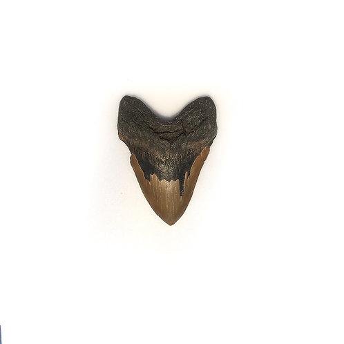 Collector Grade Megalodon Tooth