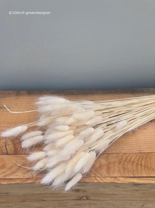 Lagurus Blanc