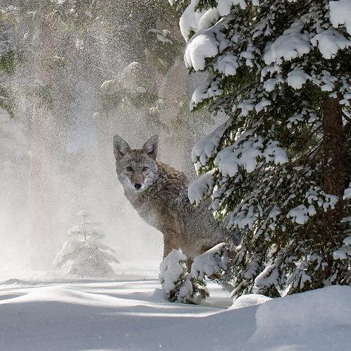 Metal Print Coyote