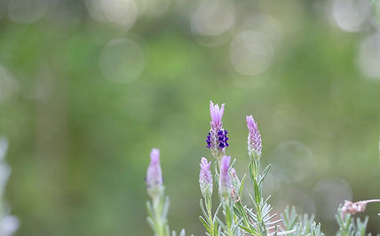 Enchanted Forest Lavender