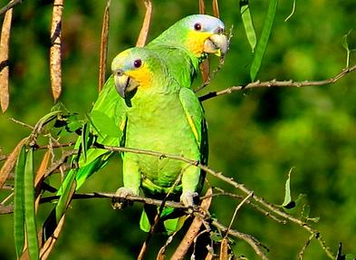 Resultado de imagem para imagens da ave curica