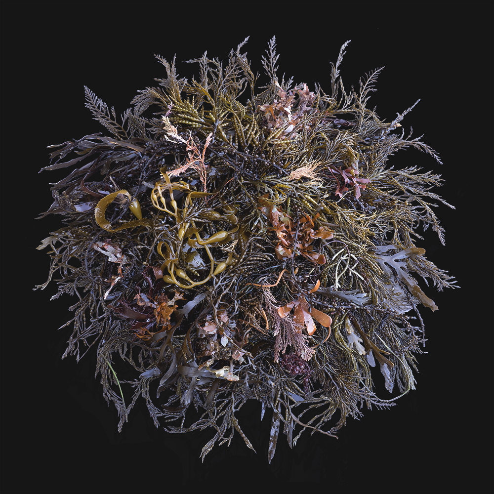 SeaweedCa4P1010669small