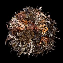 SeaweedCa1P101071small