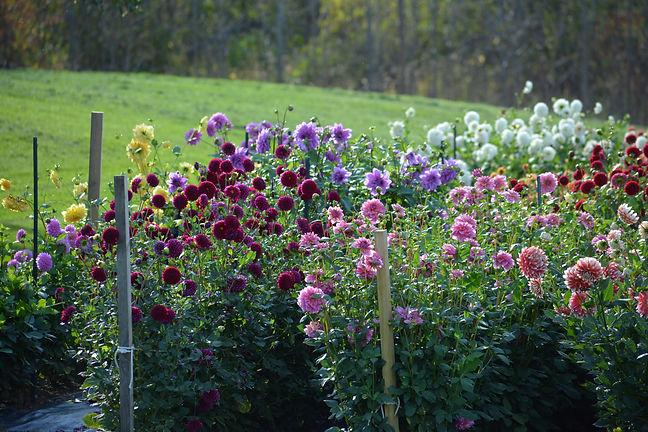 Dahlia is a genus of bushy, tuberous, he