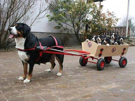 Service Dogs Eyes...