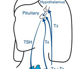 Sindromul T3 scăzut I: Nu este vorba de glanda tiroidă!