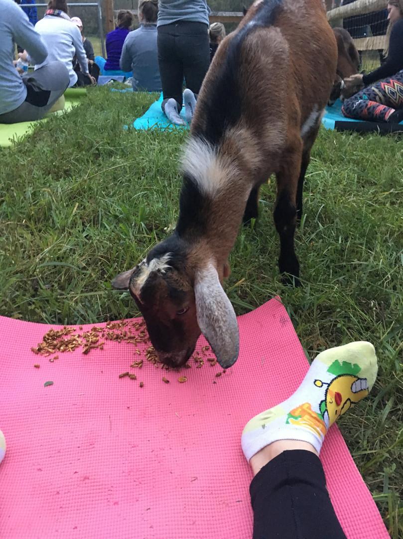 My goat yoga partner!