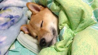 人與狗同床睡覺… 會失去「地位」嗎?