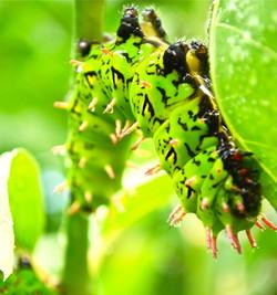 Silkworm (Antherina suraka)
