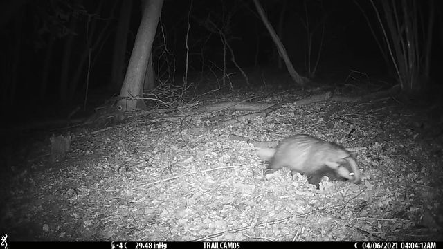 Our first badger.