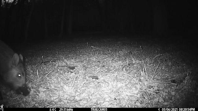 First wild boar!