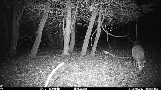 Muntjac is back