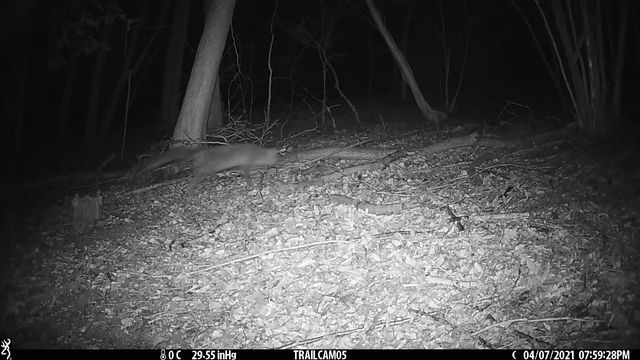 we haven't had a fox in a while until we saw this.
