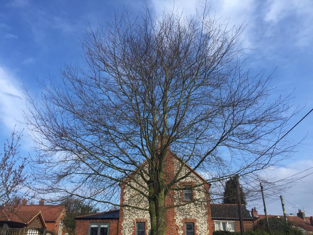 Another Beech tree before...