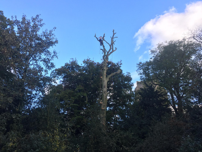 Huge, mature Beech tree dismantle at Hingham, Norfolk