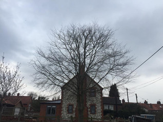 Another Beech tree after..