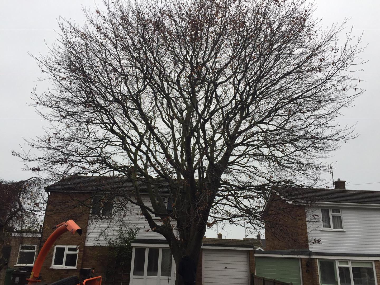 Beech tree before...