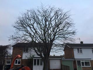Beech tree after....