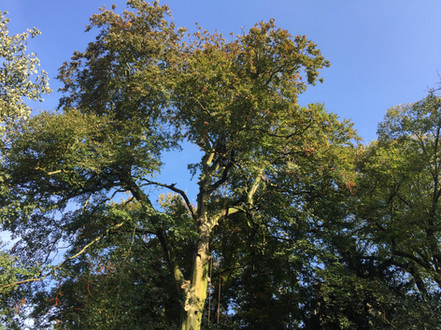 Huge, mature Beech tree dismantle at Hingham, Norfolk