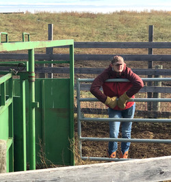 Lane waits on the next group of cows to sort at Krise Ranch