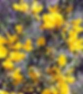 קידה שעירה בפריחה