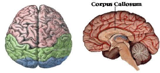 corpus callosum brain hemisphere right left synchronization