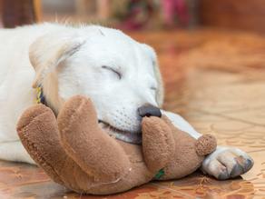 Does Your Dog Need a Teddy Bear?