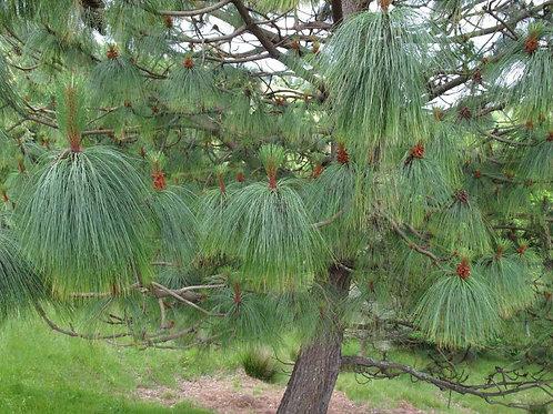 Pinus devoniana