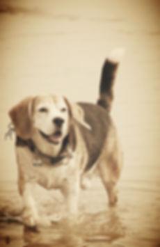 TraumAkzente Windhundhalsbänder, Galgo-Halsbänder, Whippet-Halsbänder, Greyhound-Halsbänder