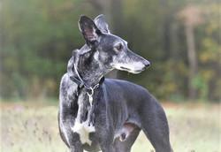 Galgohalsband/Greyhoundhasband