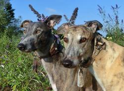 Greyhound-Halsband